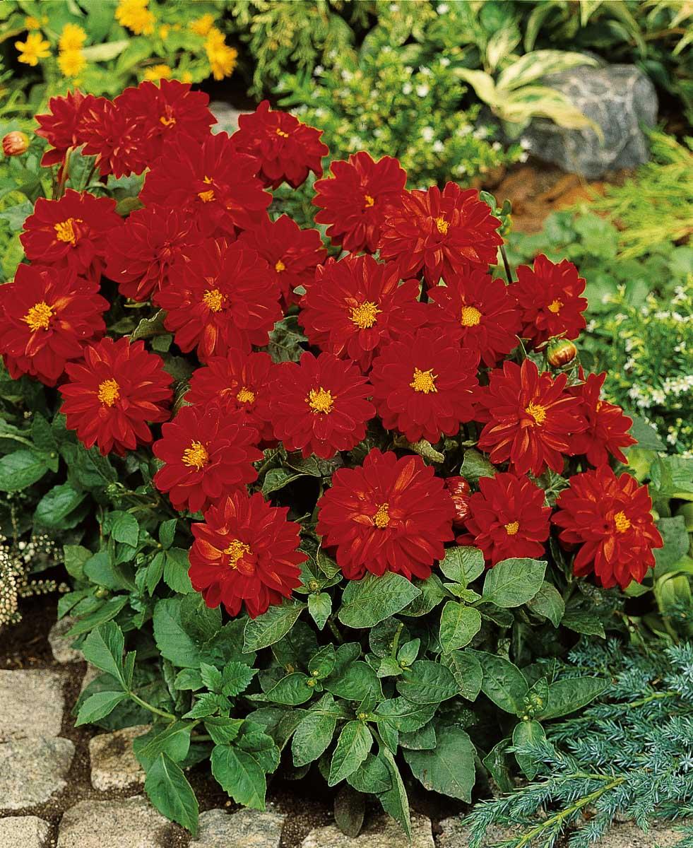 Dahlie 'Figaro Red Shades'