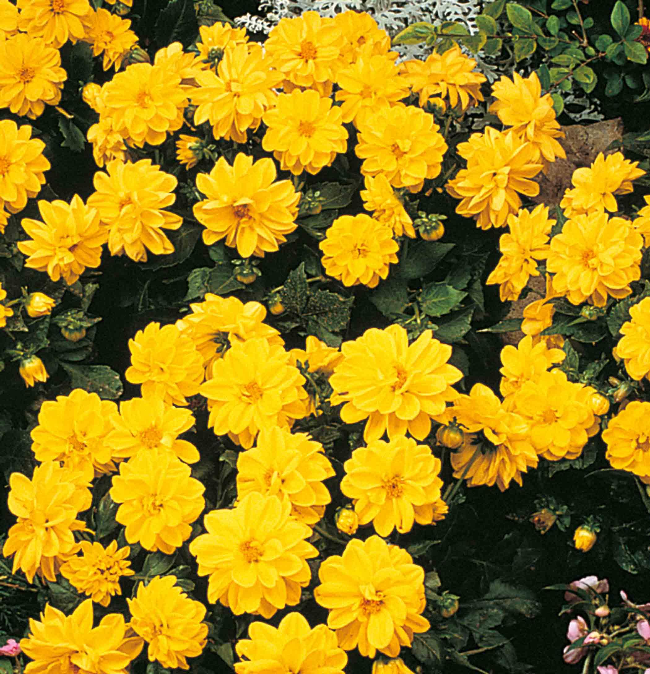 Dahlie 'Figaro Yellow'