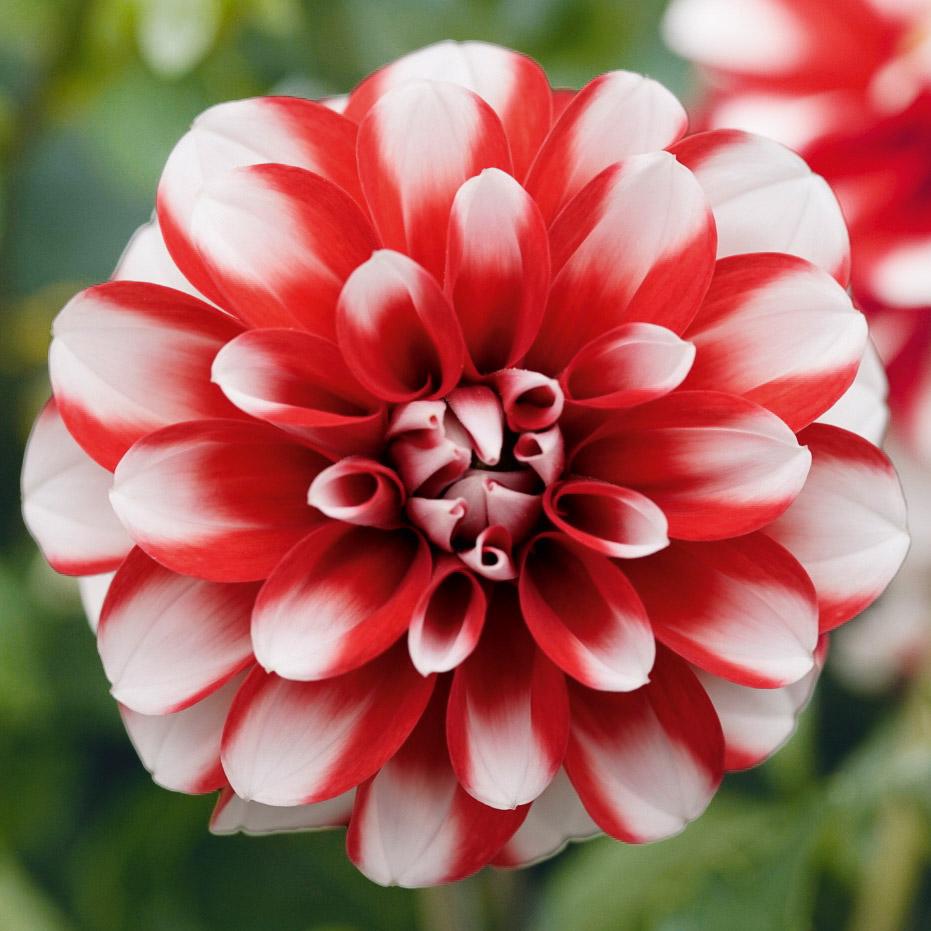 Dahlie 'Lubega® Scarlet White'