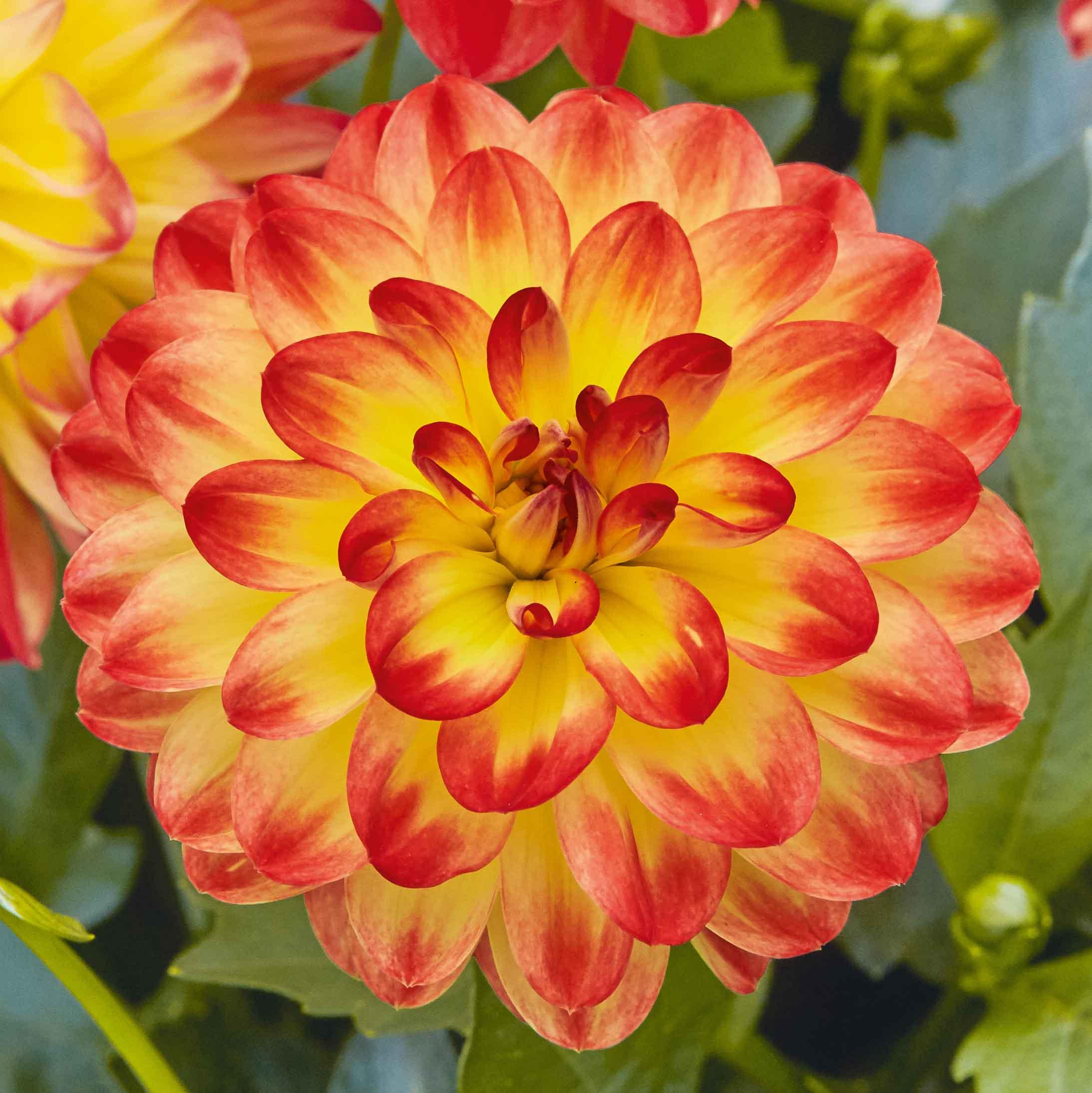 Dahlie 'Lubega® Power Yellow Orange'