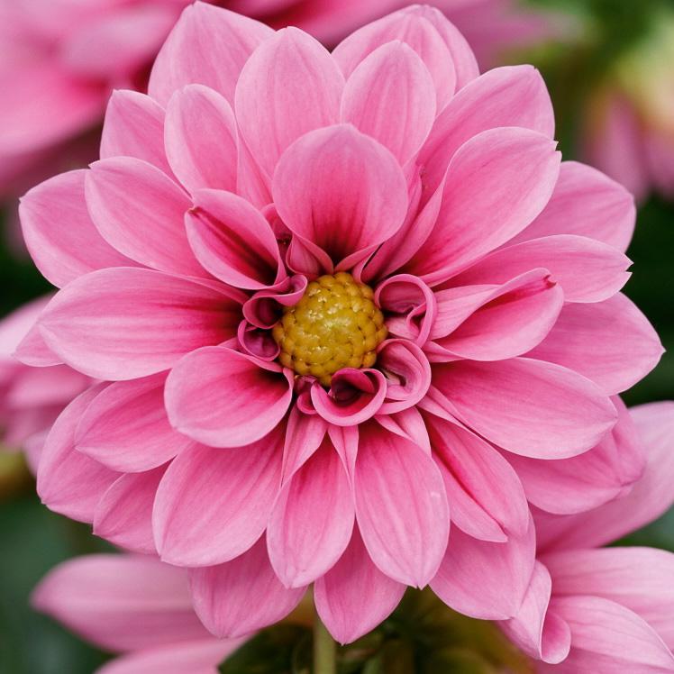 Dahlie 'Lubega® Special Rose Eye'