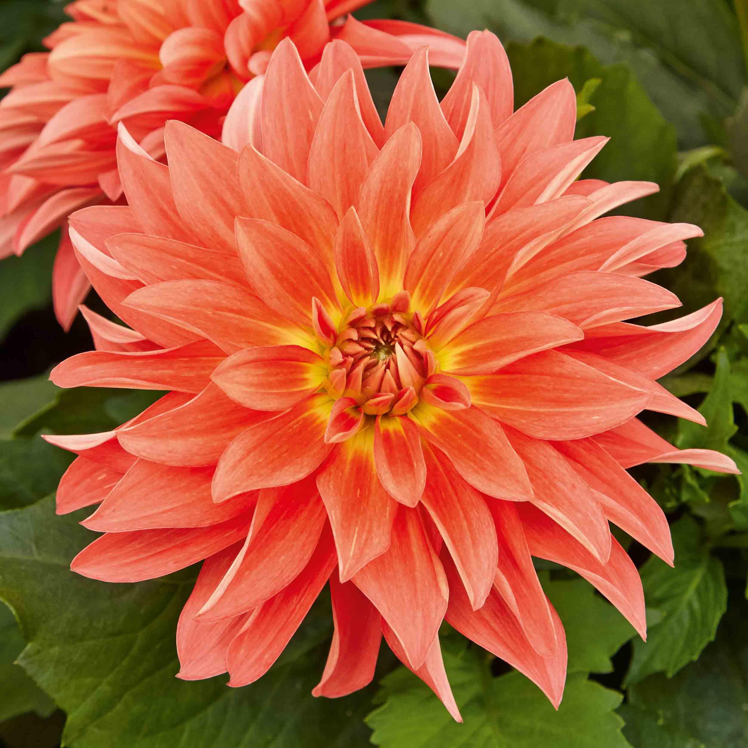 Dahlie 'Lubega® XL Orange'