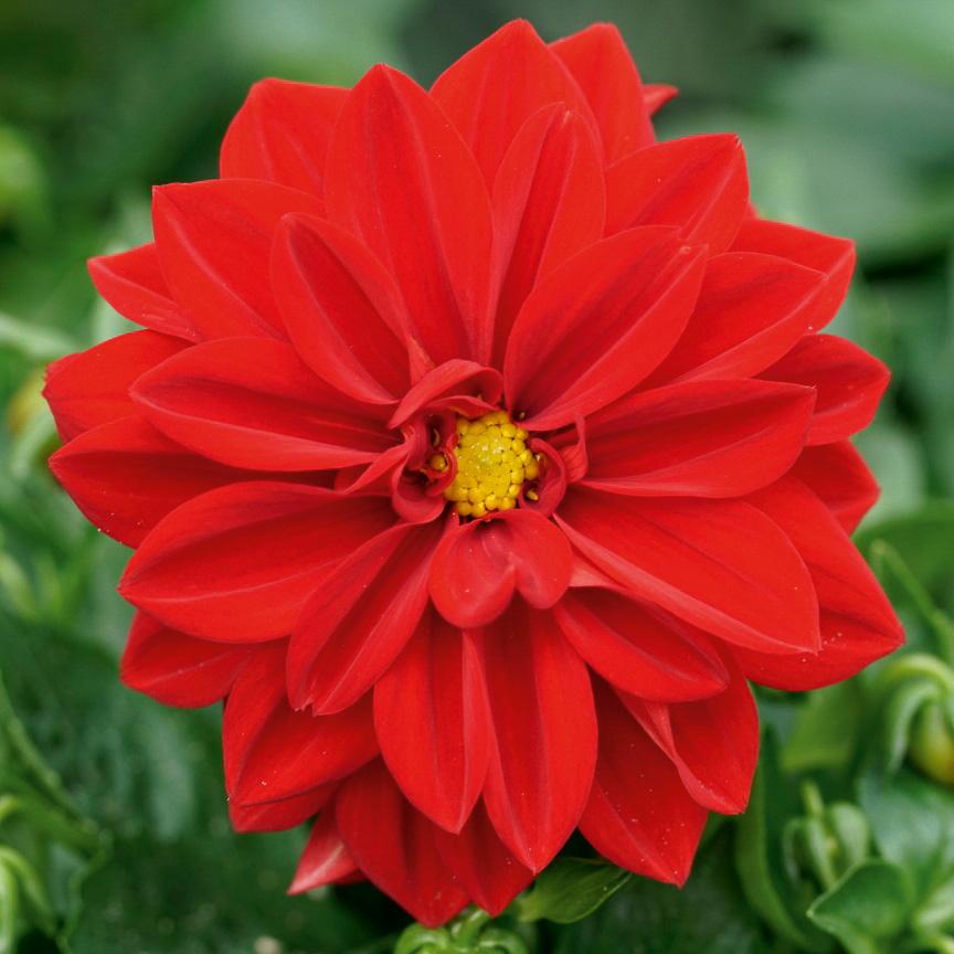 Dahlie 'Lubega® Scarlet'