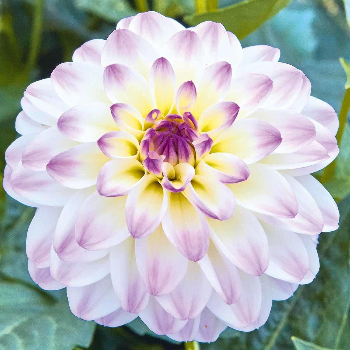 Dahlie Lubega® Power 'White Lilac Frost'