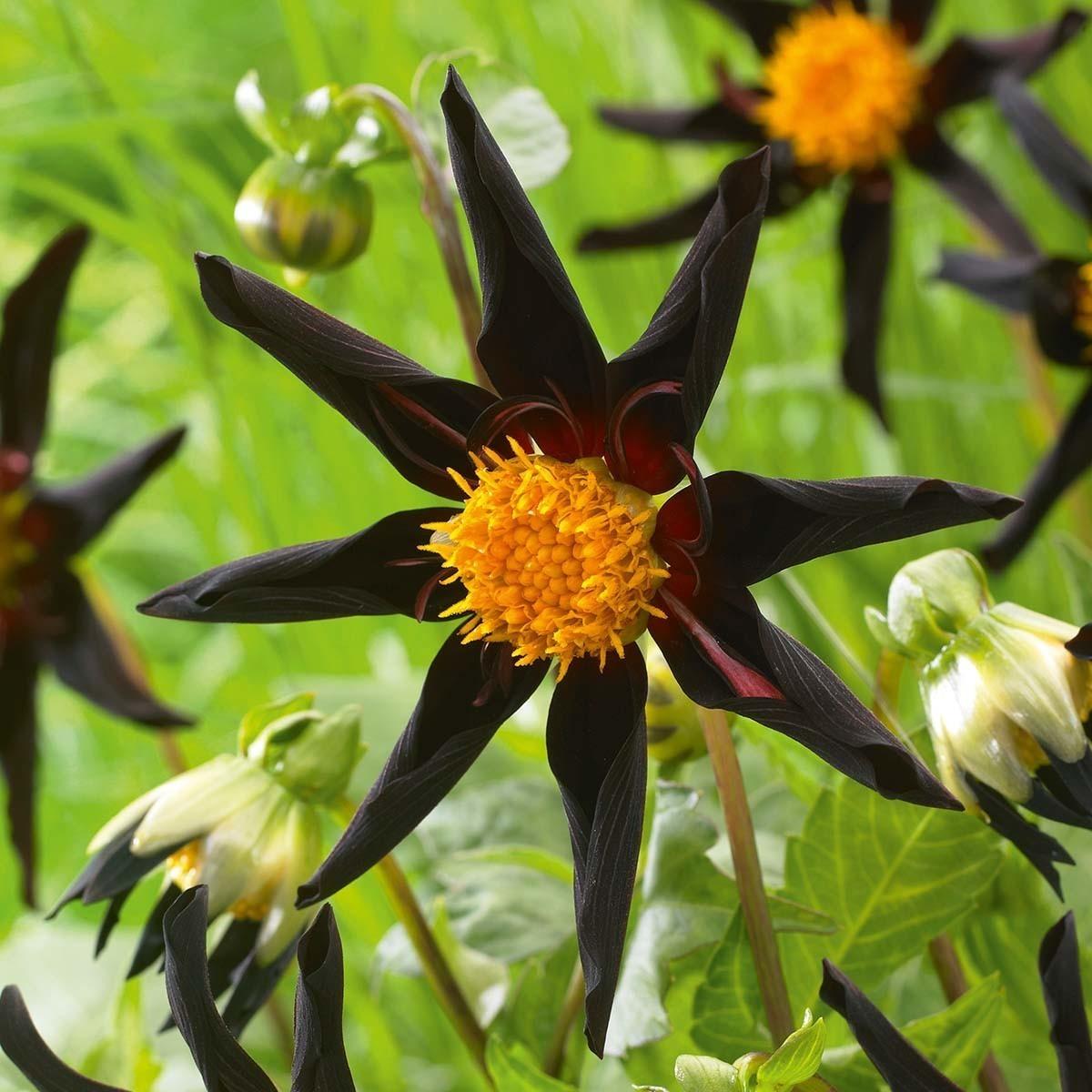Sterndahlie 'Verrone's Obsidian'