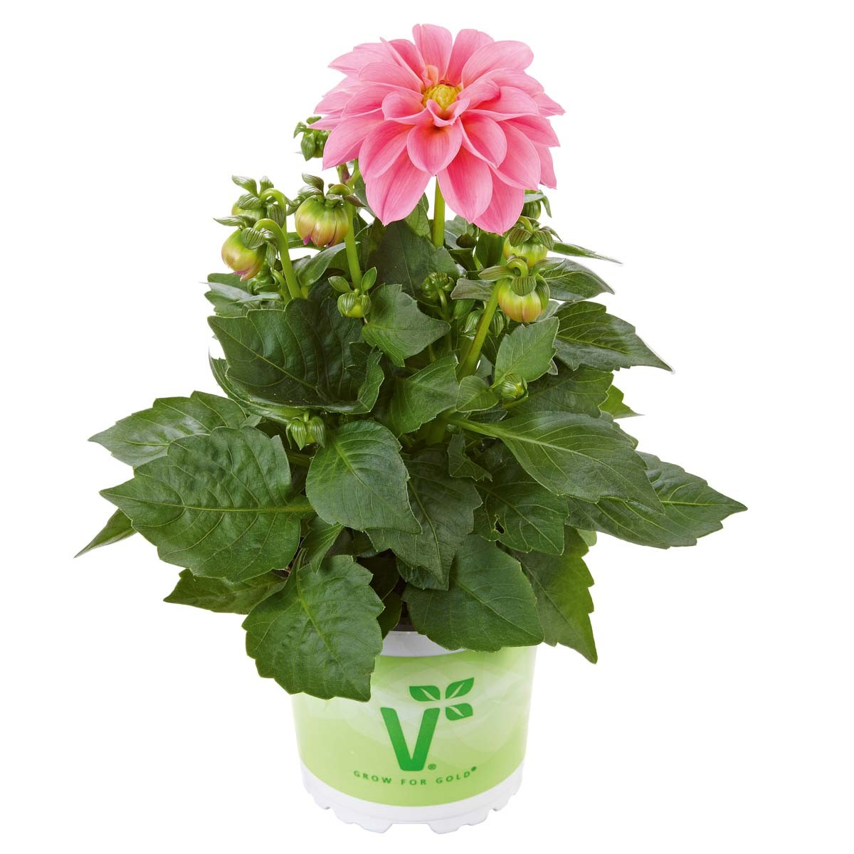 Dahlie 'Lubega® Rose'