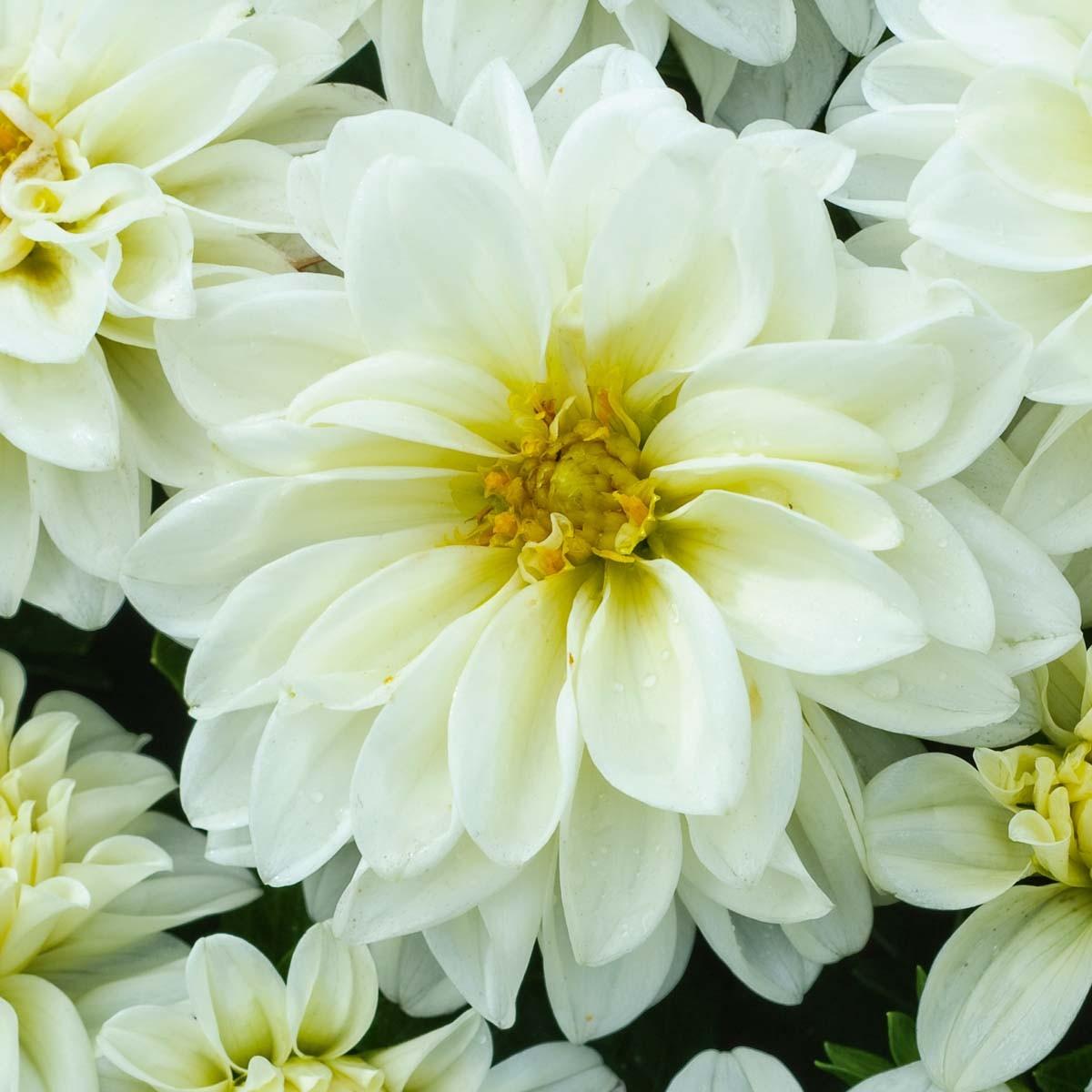 Dahlie 'Lubega® White'