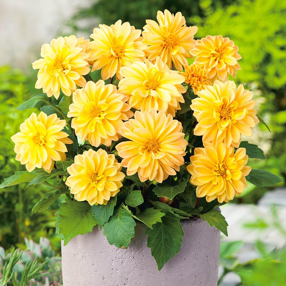 Dahlie 'Lubega® Yellow'