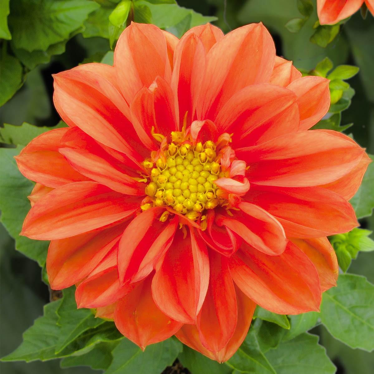 Dahlie 'Lubega® Orange'