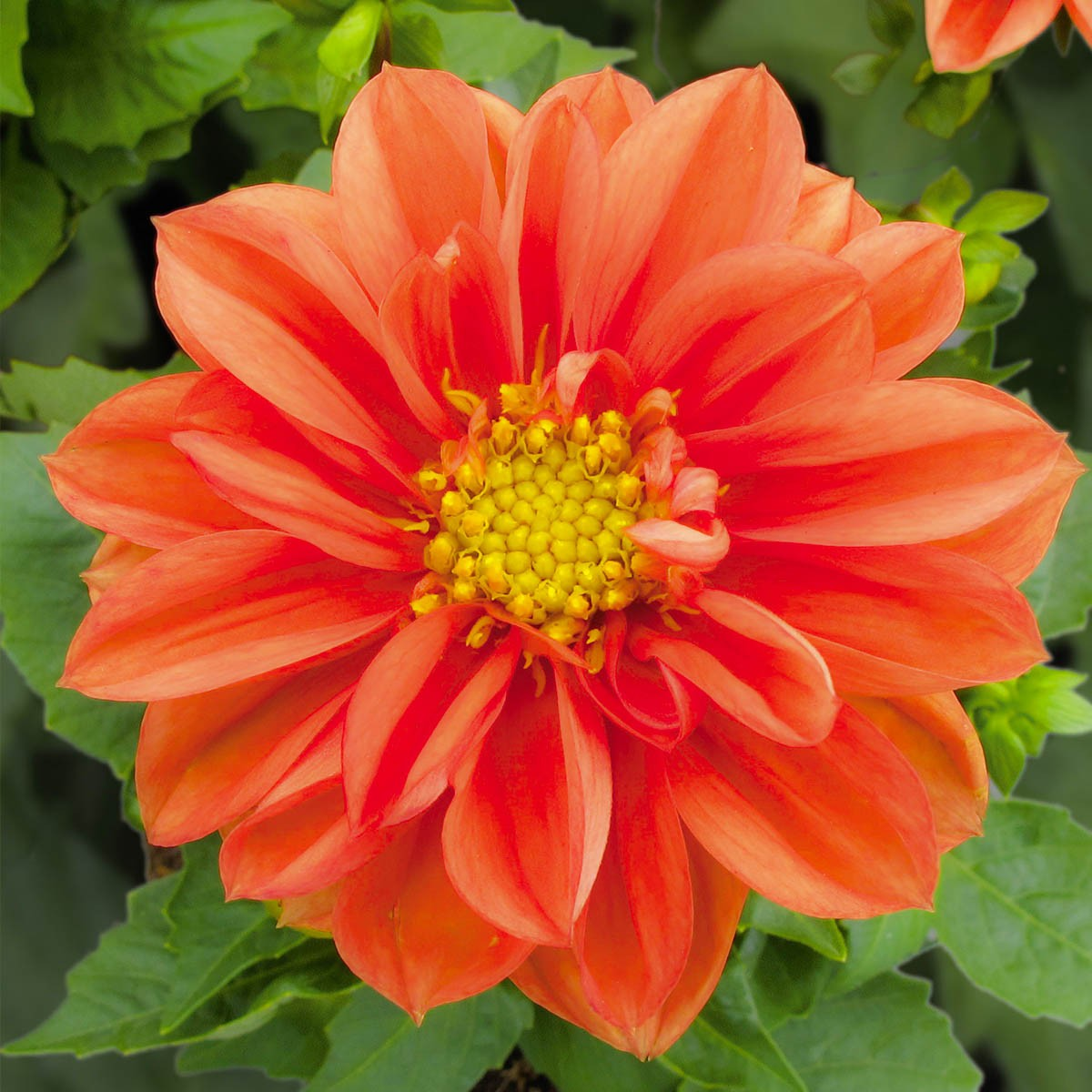 https://www.dahlien.de/wp-content/uploads/2019/12/volmary-pflanzen-blumen-dahlien-lubega-orange-01.jpg